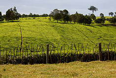 Getty Image. Tea in Kericho, Kenya