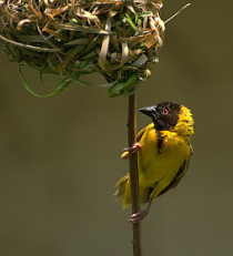 Black headed weaver bird